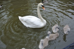 First cygnets of the season
