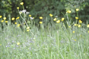 The wild flower meadow.