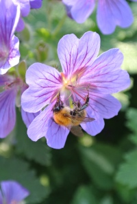 One day I will get a good bee photo
