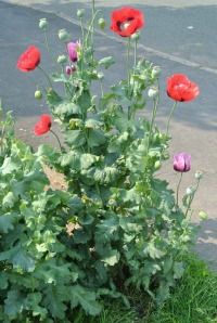 Flanders poppys