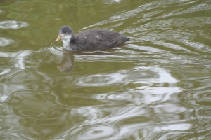 A baby waterbird