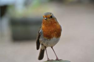 Cheeky robin.