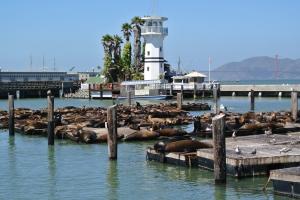 Sea Lions - Pier 49