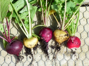First crop of radish.  More planted today.