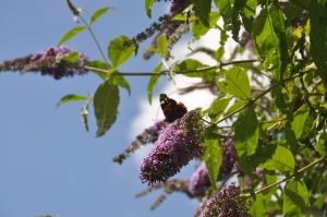Buddleia bush doing what it is meant to do, attracting butterflies and bees.