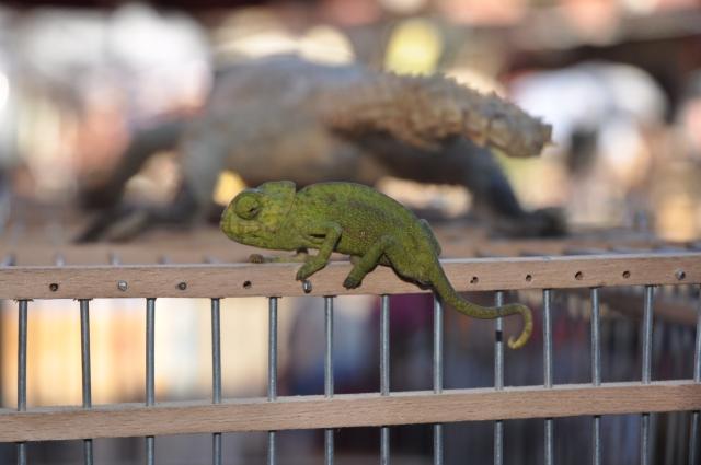 Chameleon baby