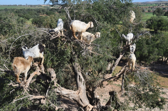 No trip to Essaouira would be complete without seeing the goats in the trees.