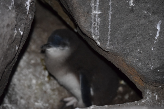 Fairy penguin - no flash.  Very cute.